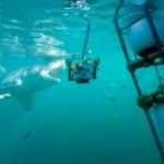 Great White Shark Cage Diving - Action