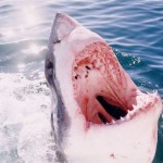 Great White Shark Cage Diving - Yawn