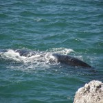 South Africa - Whale Watching 2