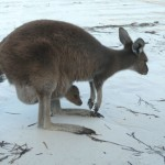 Kangeroo on the beach